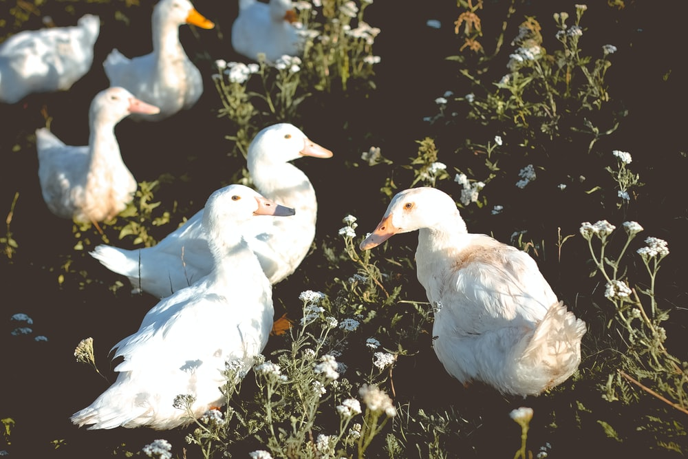 group of duck on grass