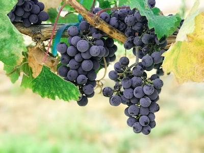4667. Bor,szőlő, borászatok