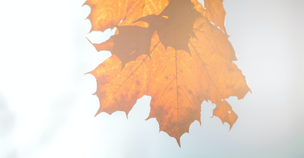 dried maple leaf on white surface