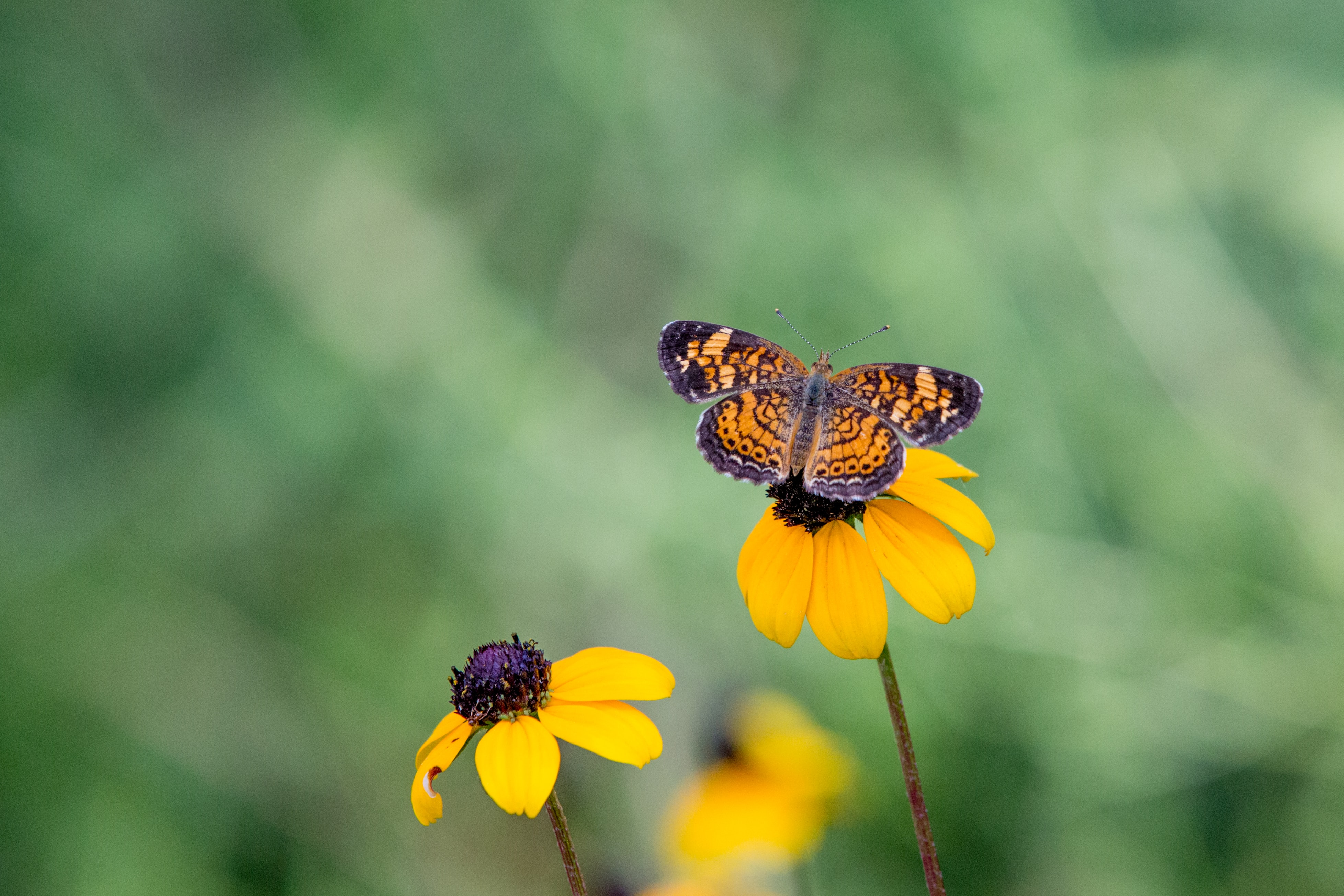 butterfly on top of yellow flower