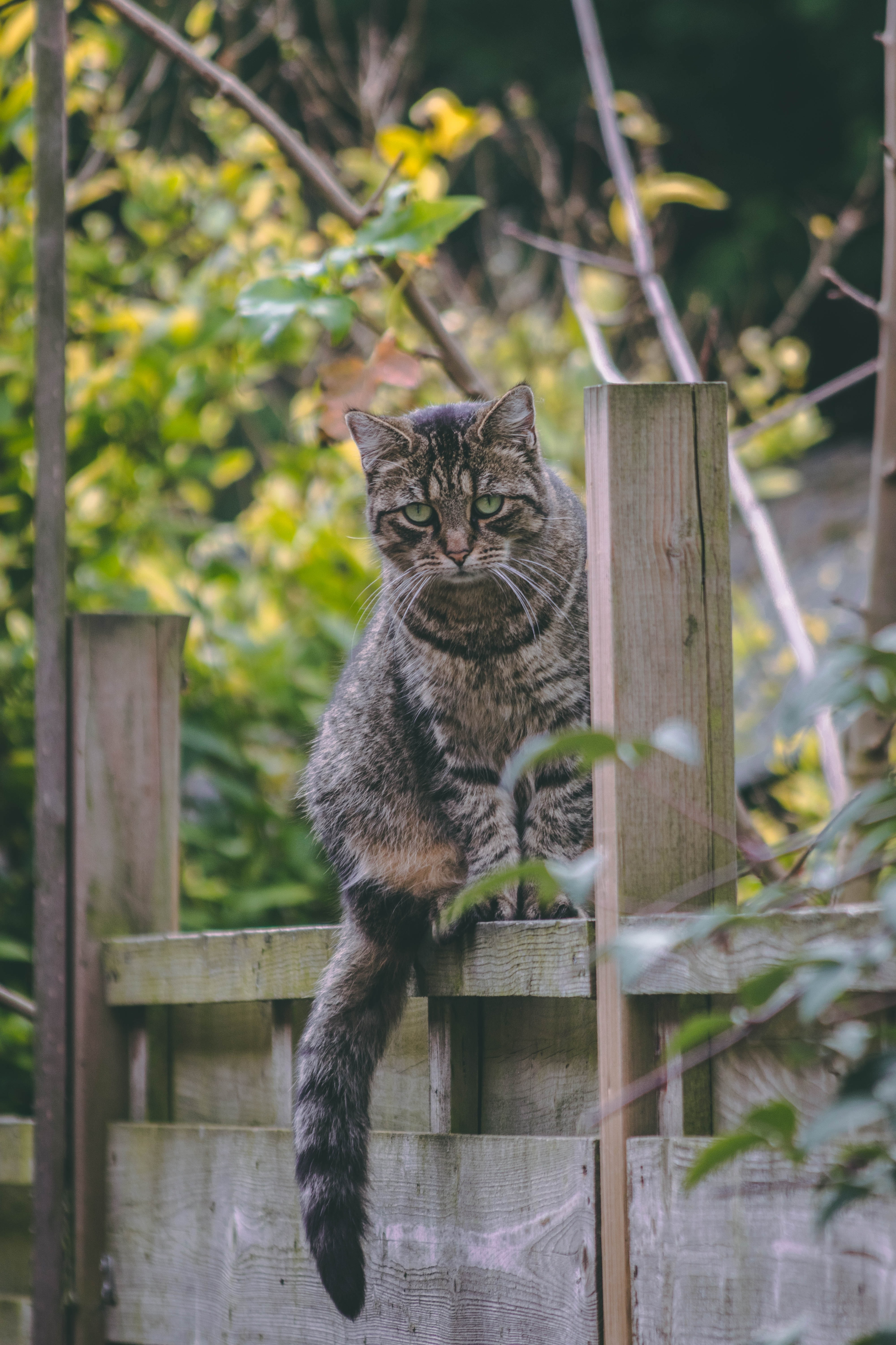 silver tabby cat on wooden fence