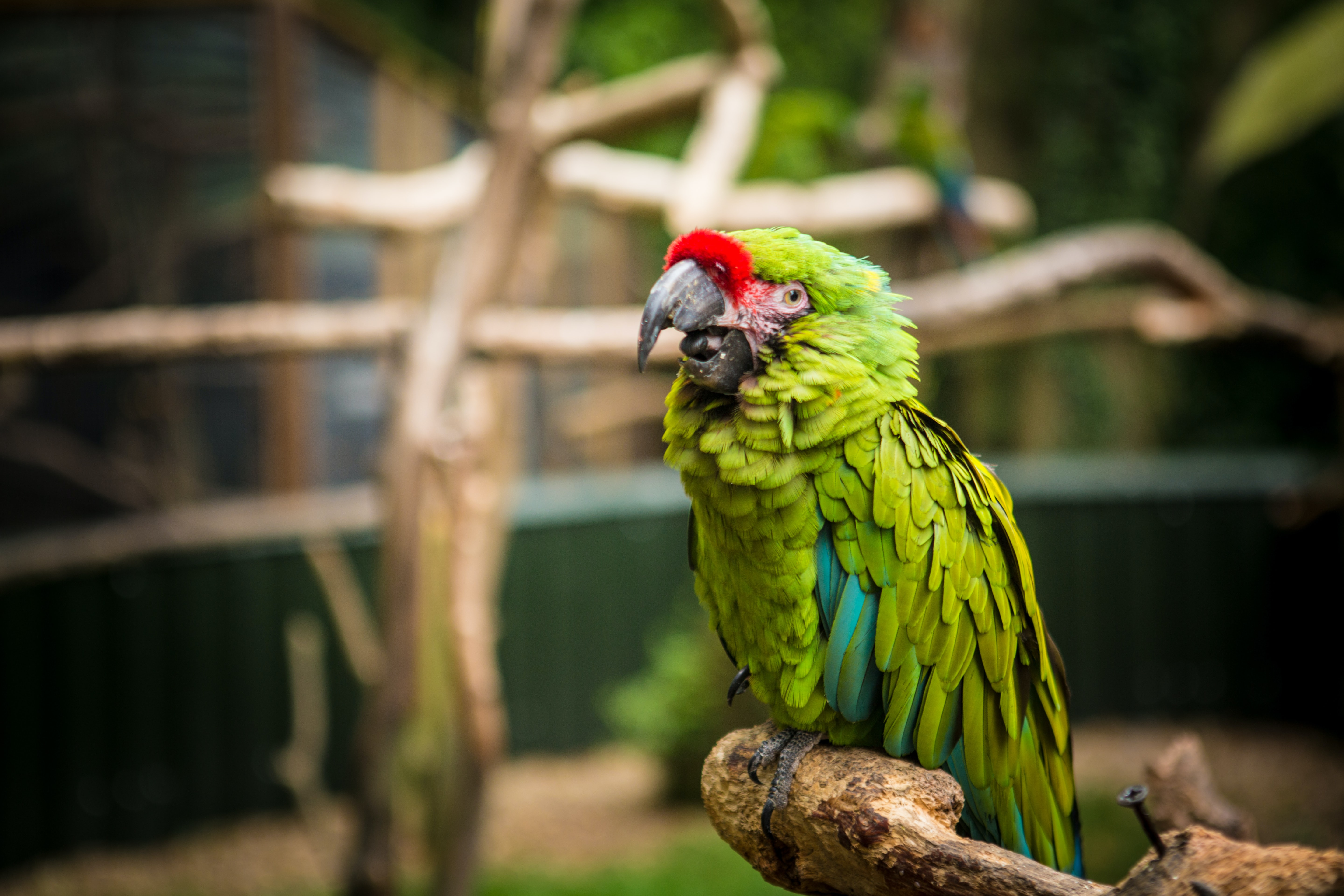 focused photo of a green macaw