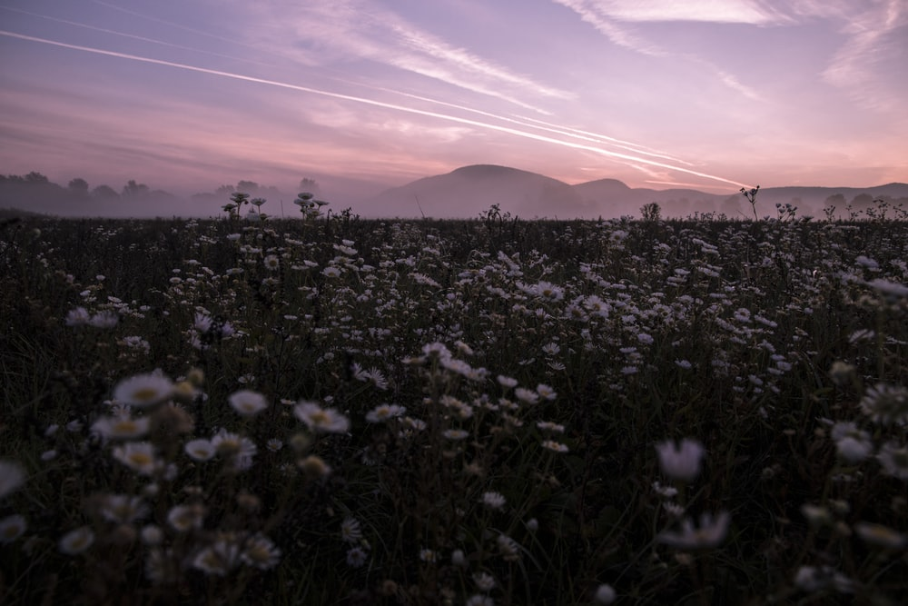 white flowers field near mountain under white cloudy sky