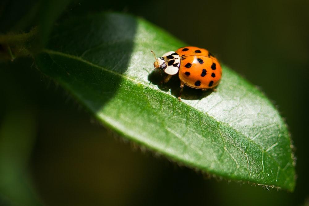 closeup photography of ladybug on leaf