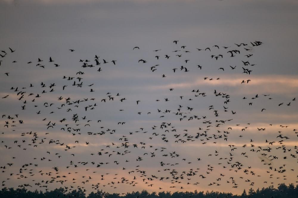 silhouette of flock of birds