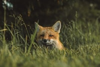 fox on green grass field during daytime