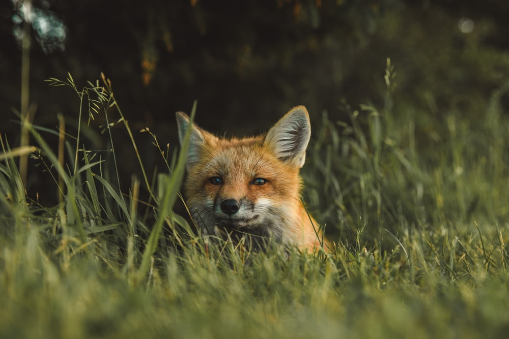 fox on green grass field during daytime