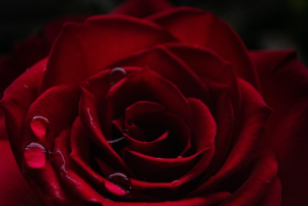 Red rose images download free pictures on unsplash - Images of red roses hd ...
