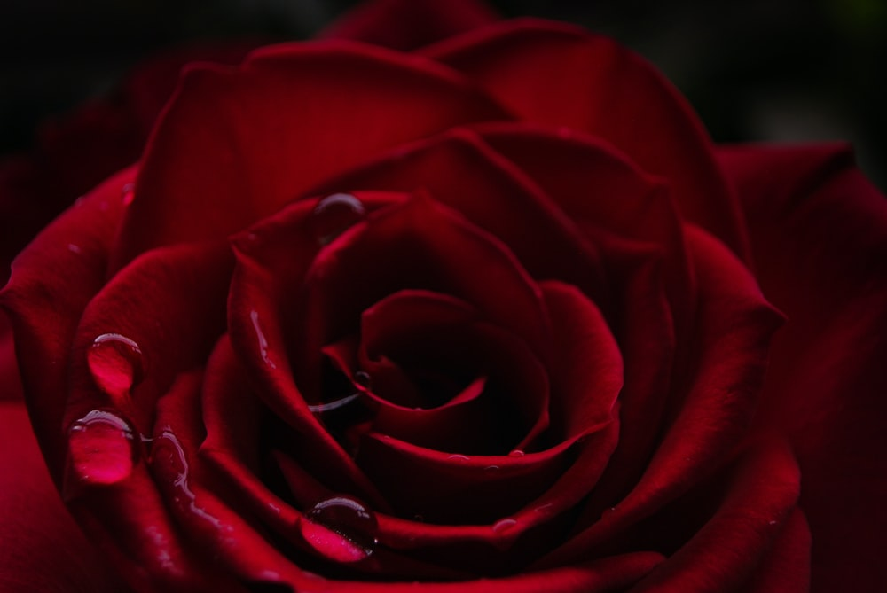 shallow photography of rose