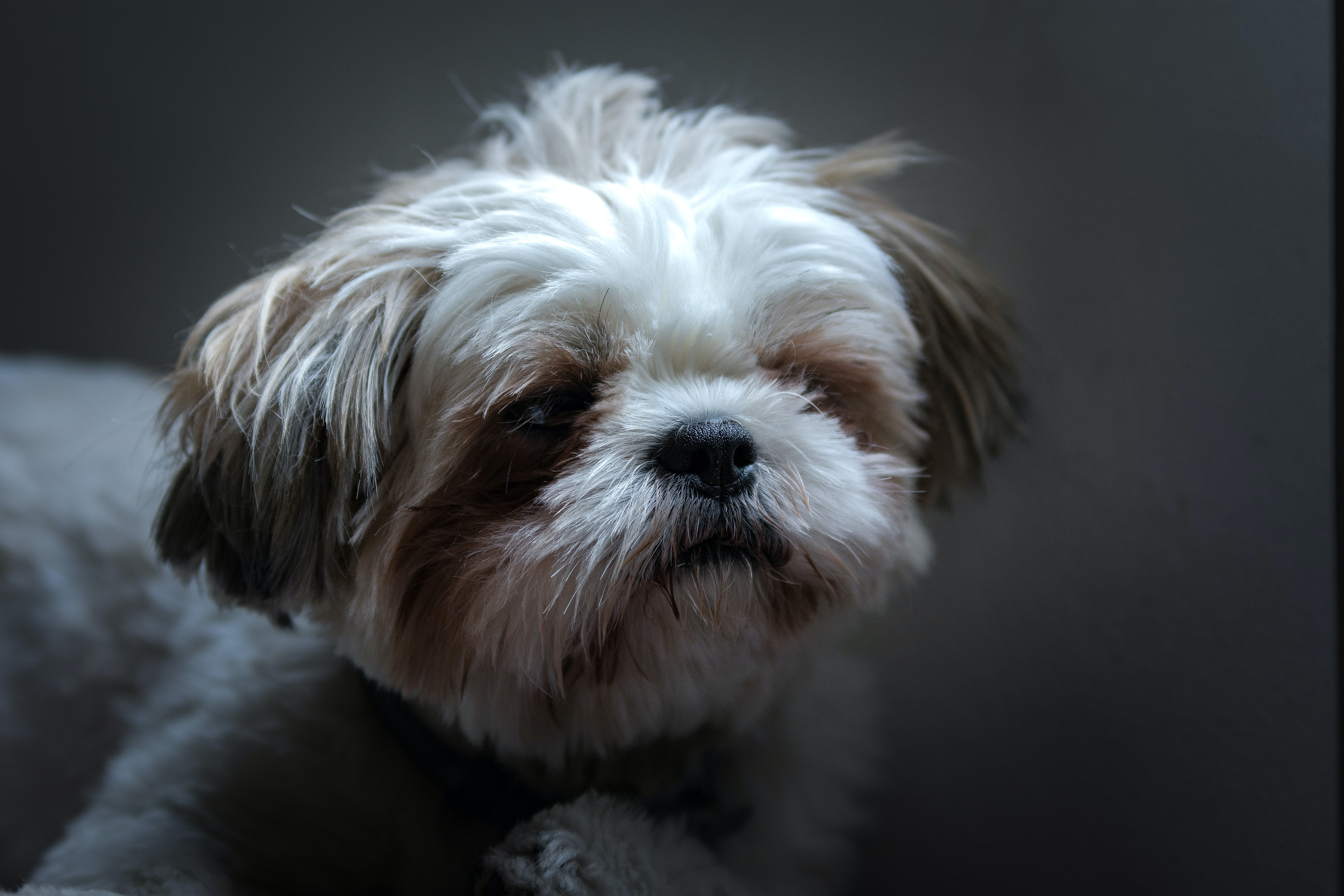 small short-coated white and brown dog