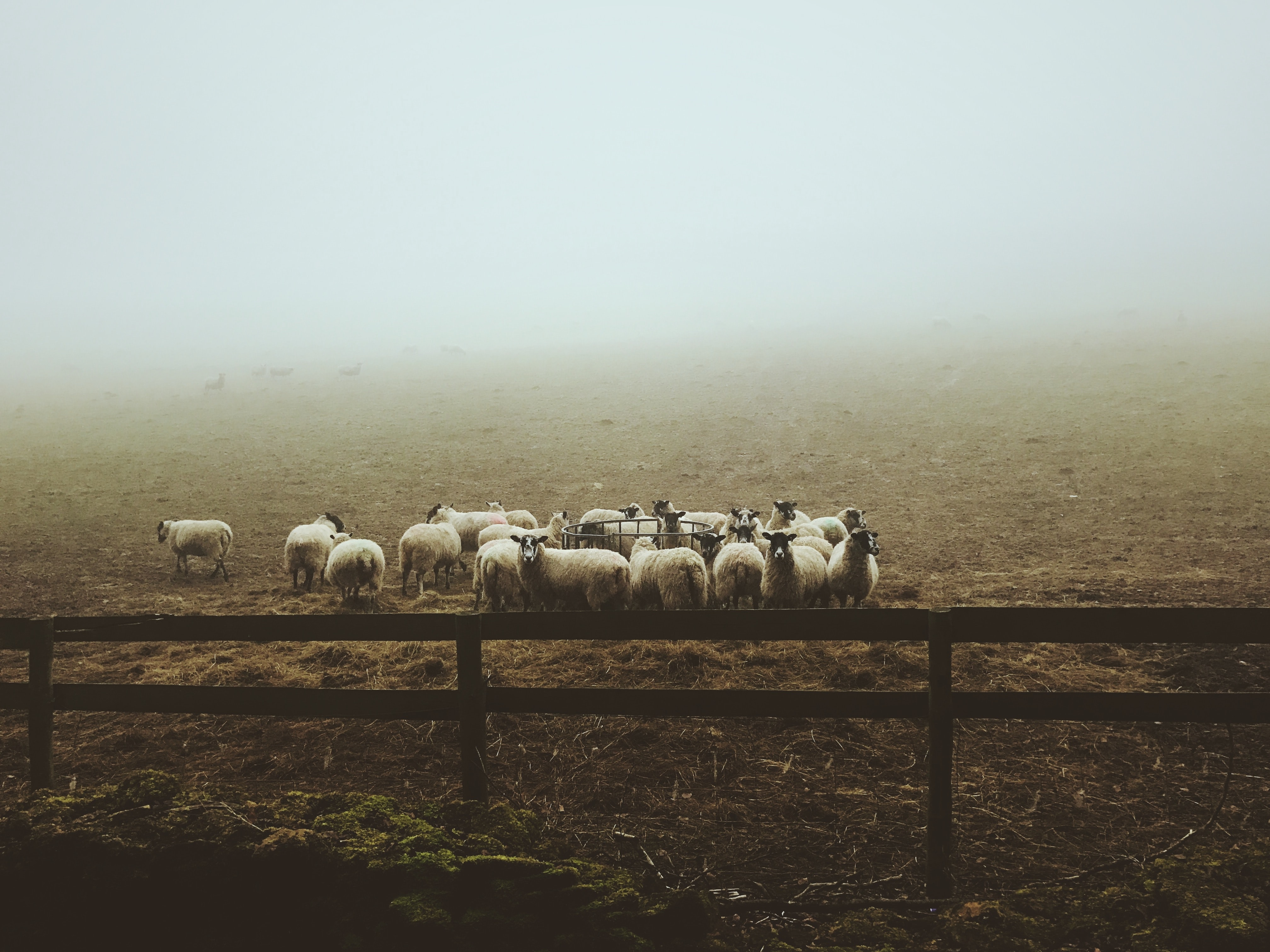 landscape photography of group of sheep on field