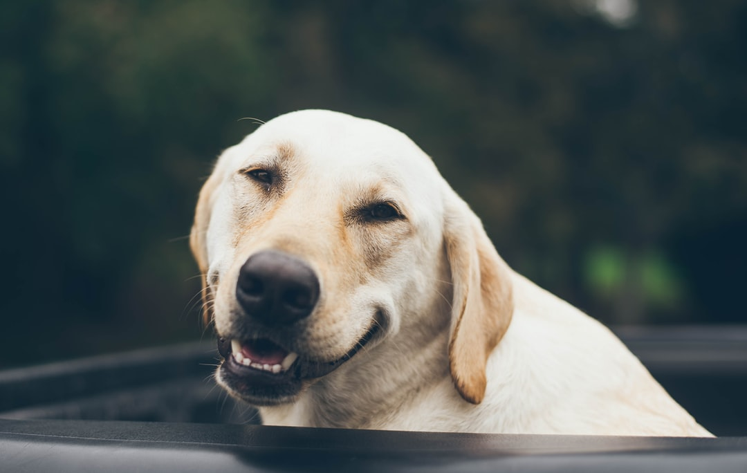 adult yellow Labrador retriever smiling