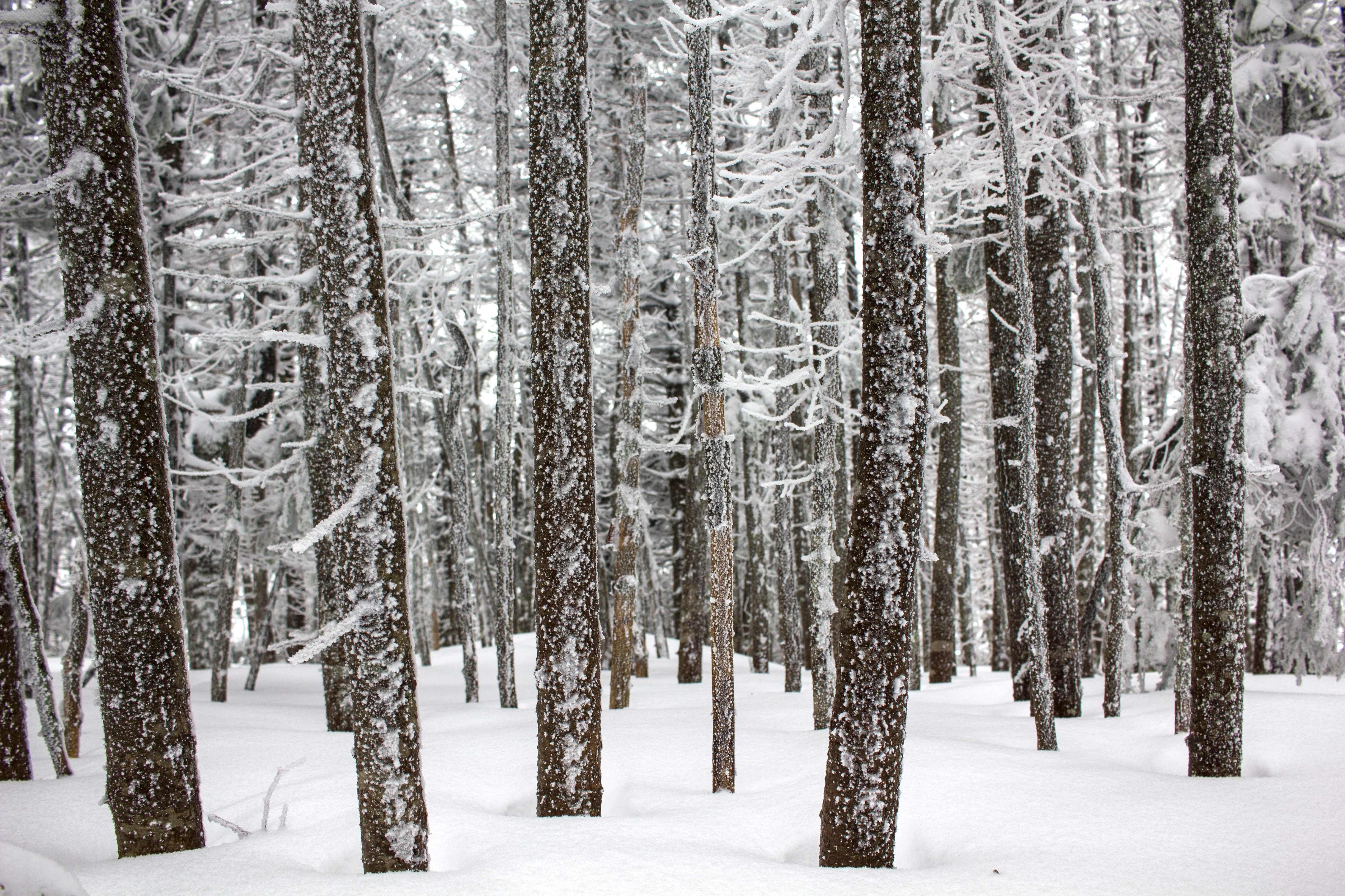 brown trees covered by snow