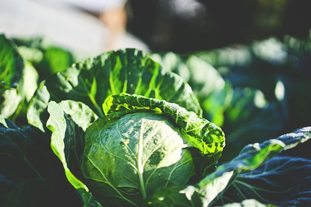 green cabbage in shallow focus shot
