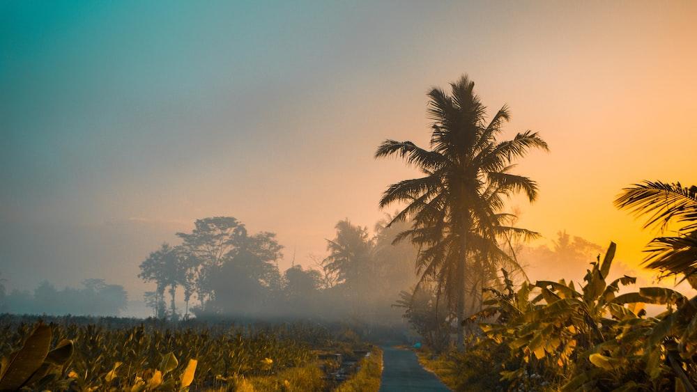 coconut trees near banana trees