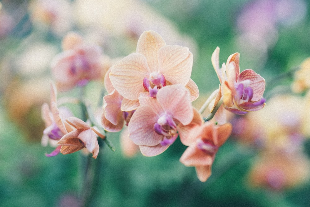 selective focus photograph of brown moth orchids
