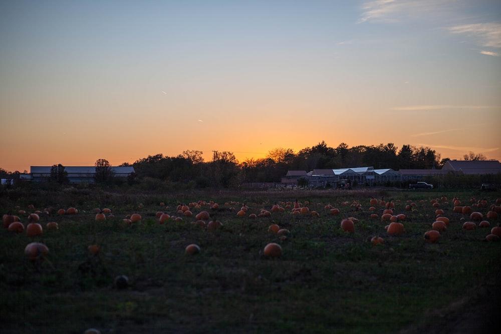 green field with pumpkin patch