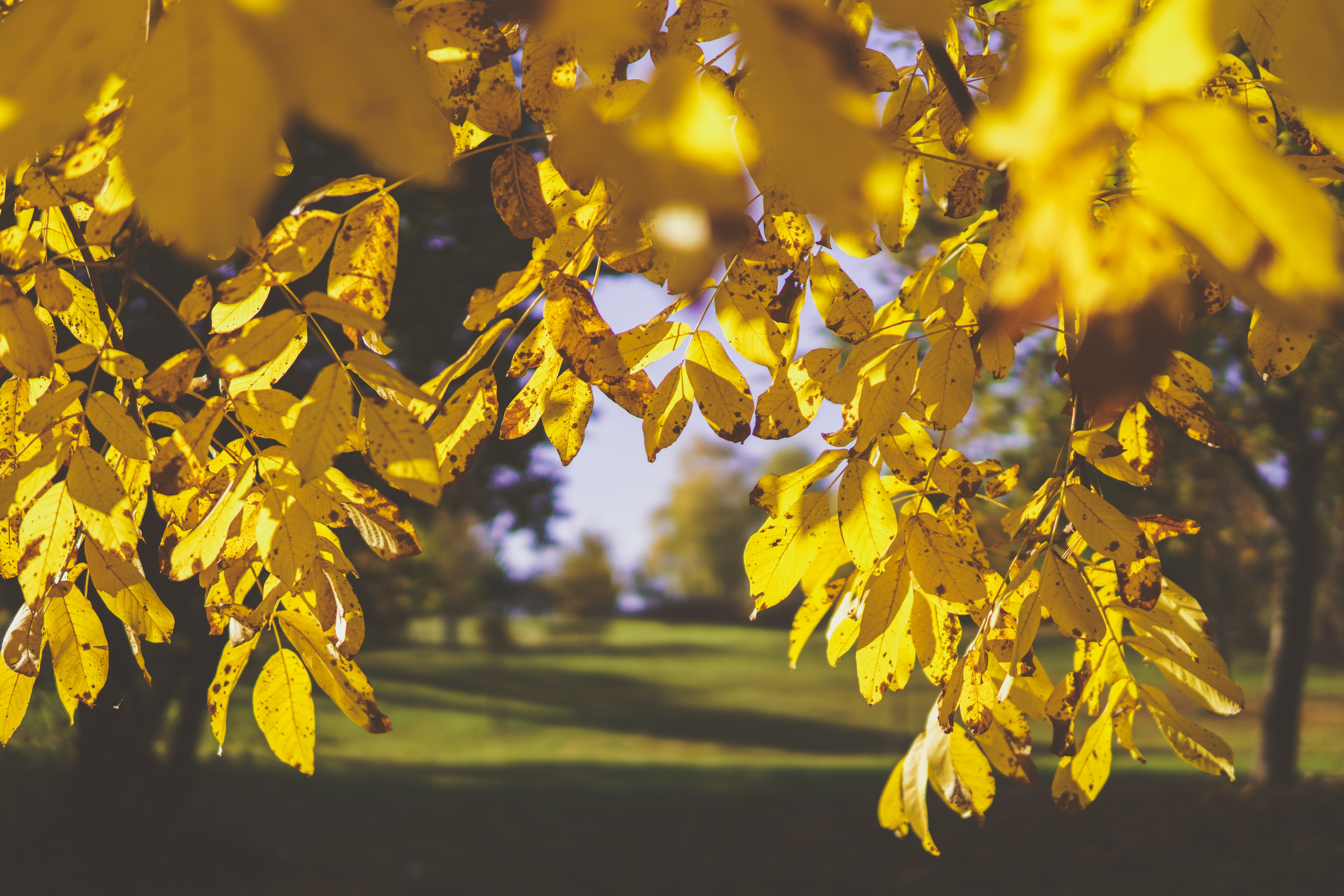 selective focus of yellow leaves