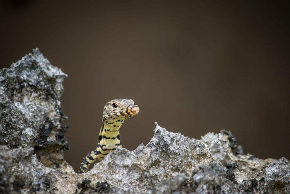 yellow and black striped lizard