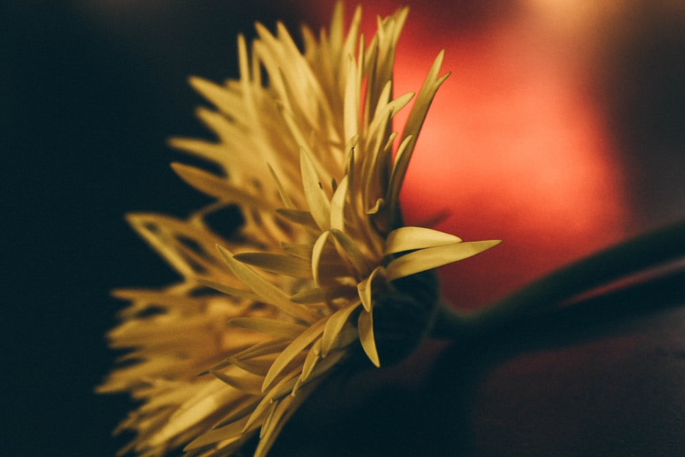 Yellow flower pictures hq download free images stock photos on yellow petaled flower closeup photography mightylinksfo