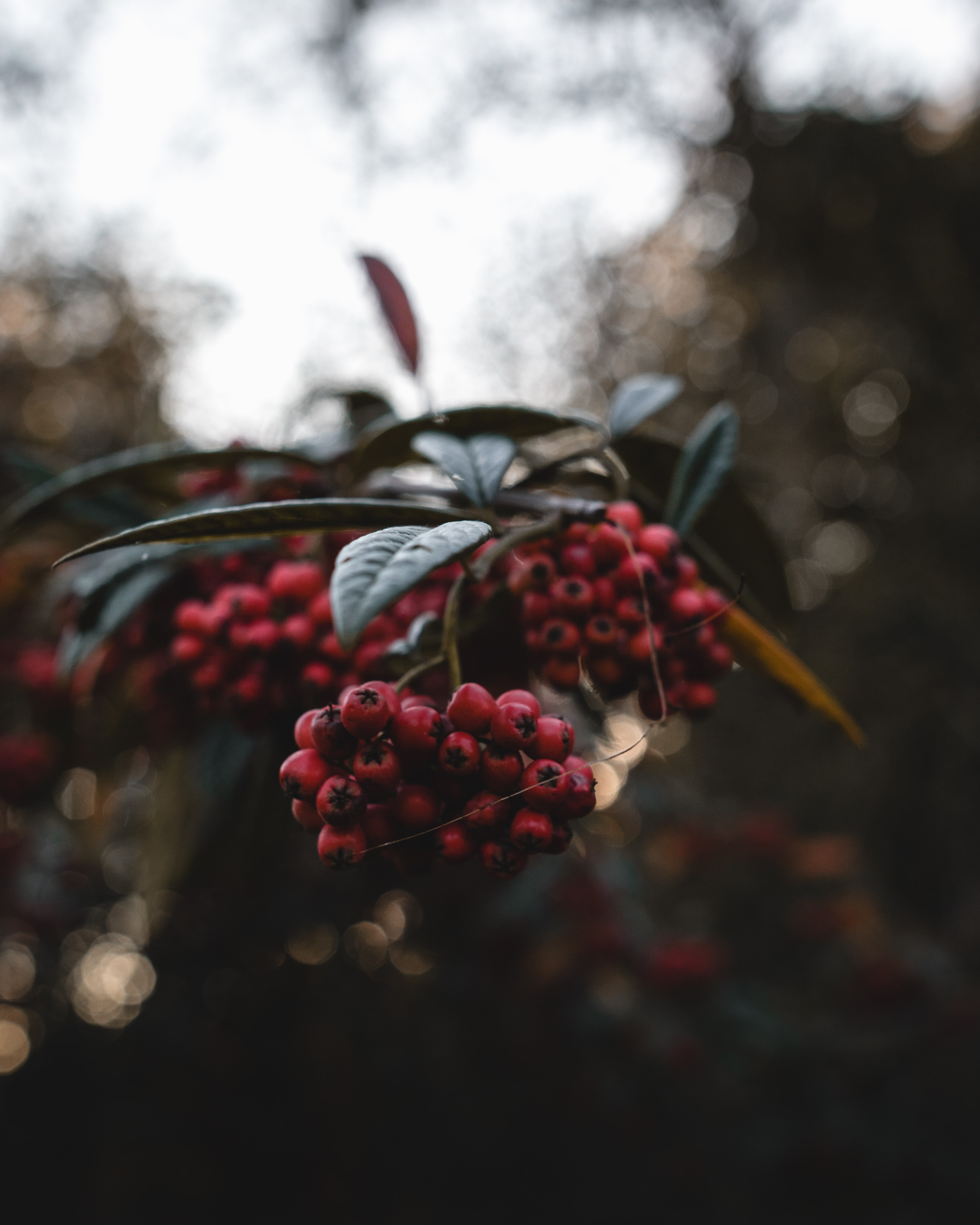selective focus photography of holly berries