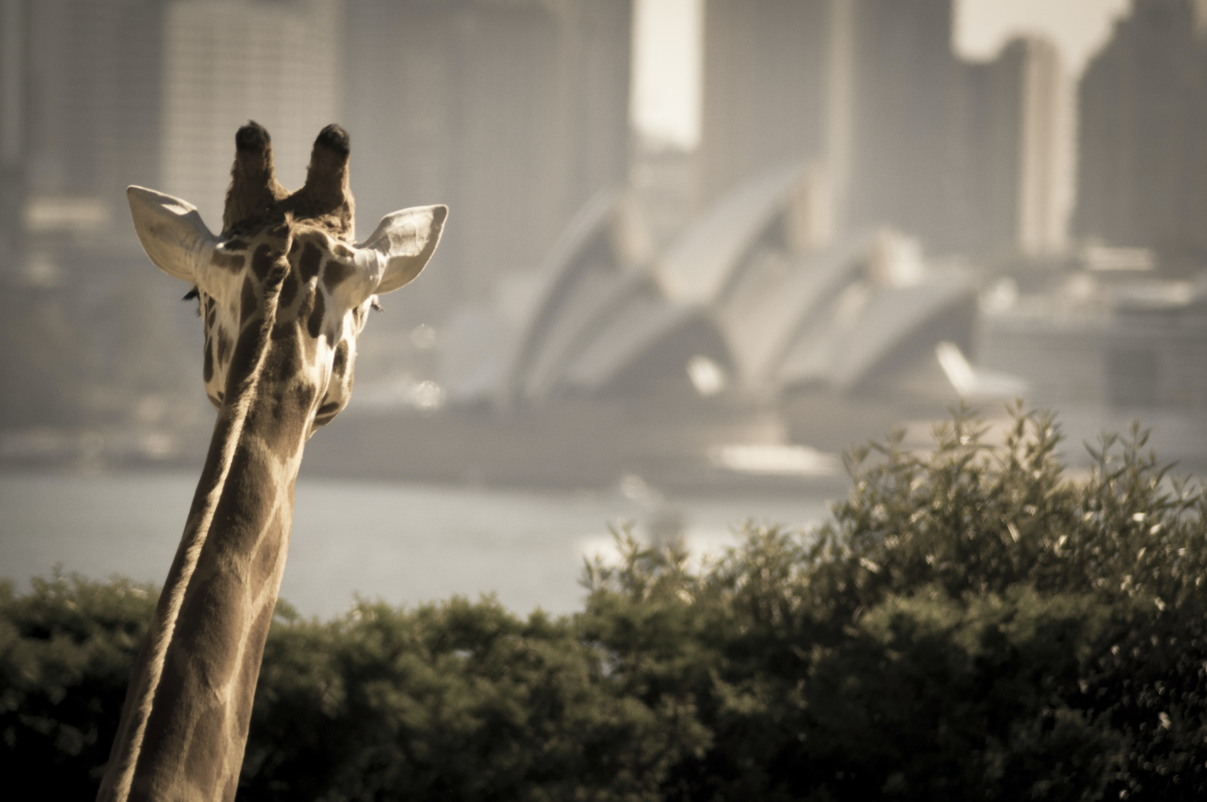 giraffe looking on opera house during daytime