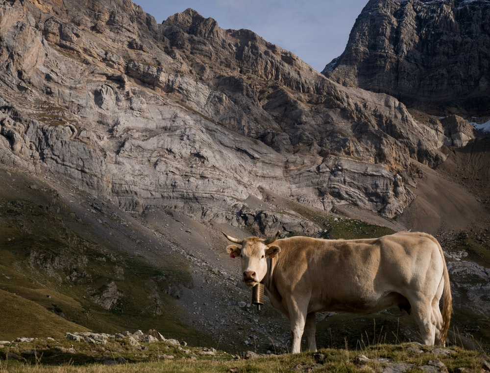 brown cattle standing near mountain