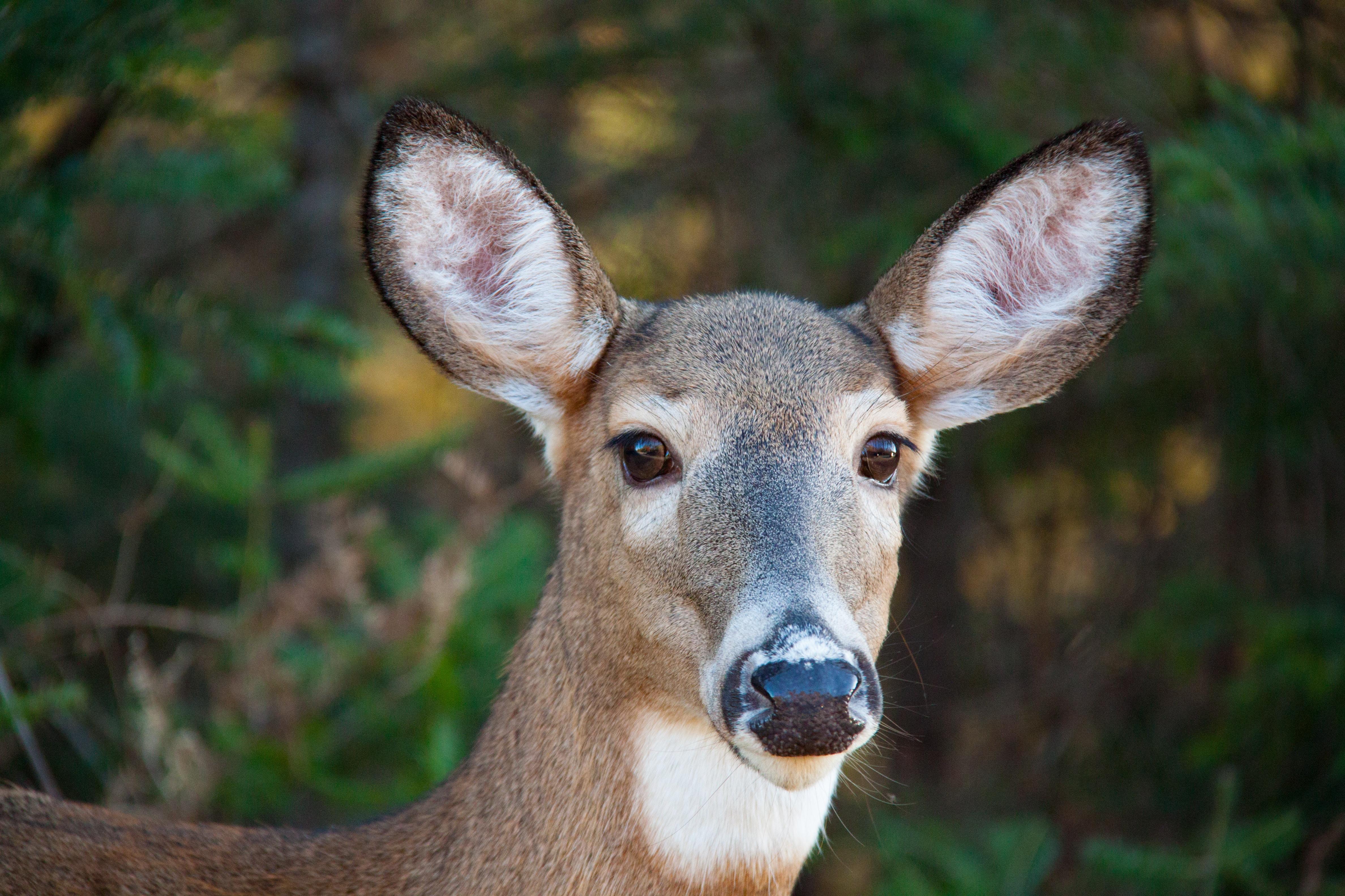 closeup photo of gray deer