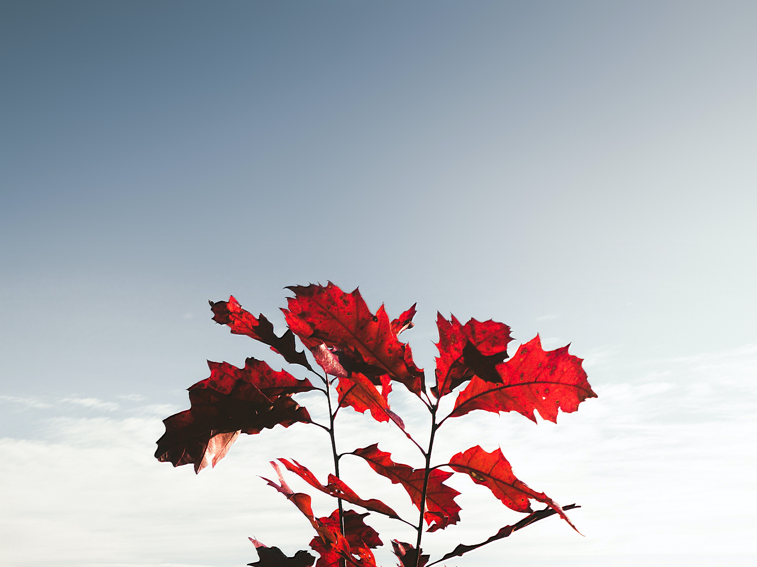 red dried leaves