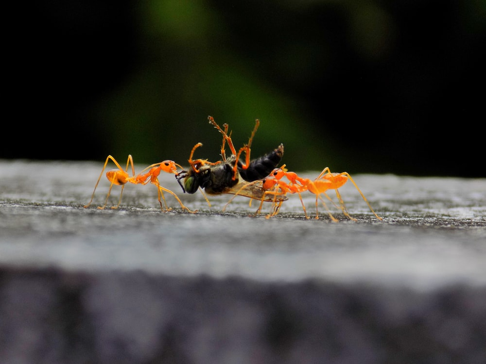 black and orange ants