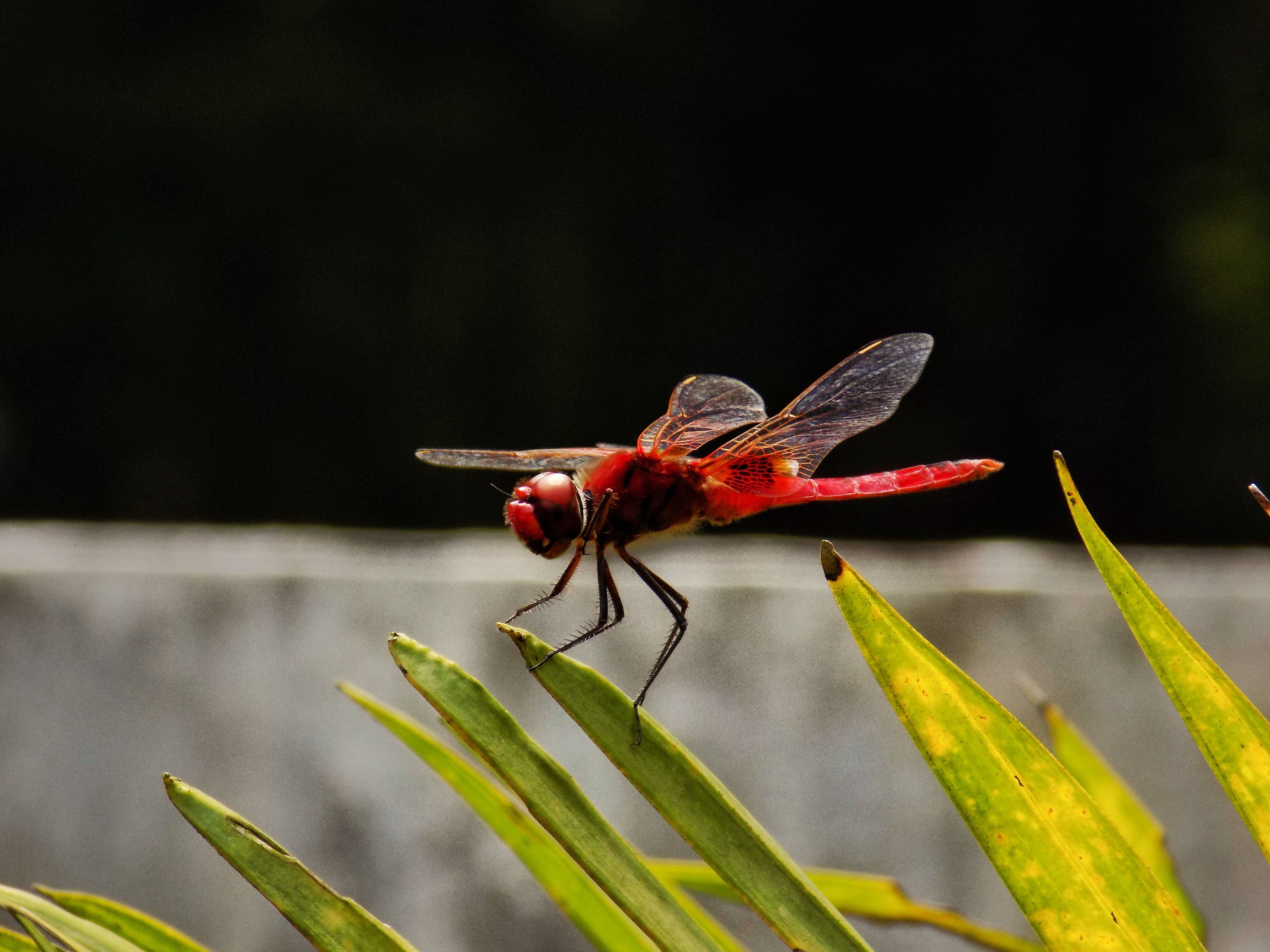 selective focus of roseate dragonfly perched on green leaf at daytime