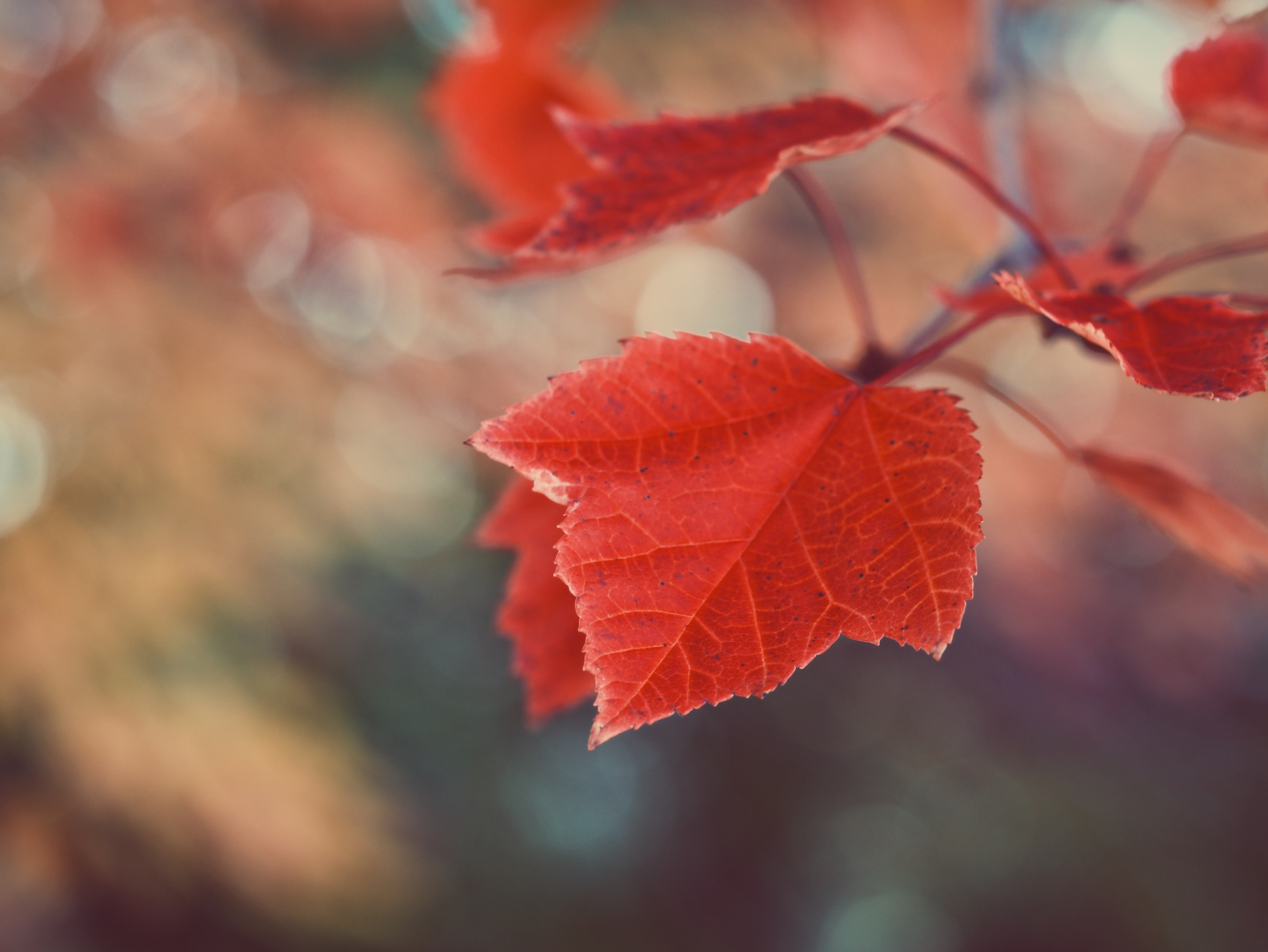 tilt shift photography of a red maple leaf