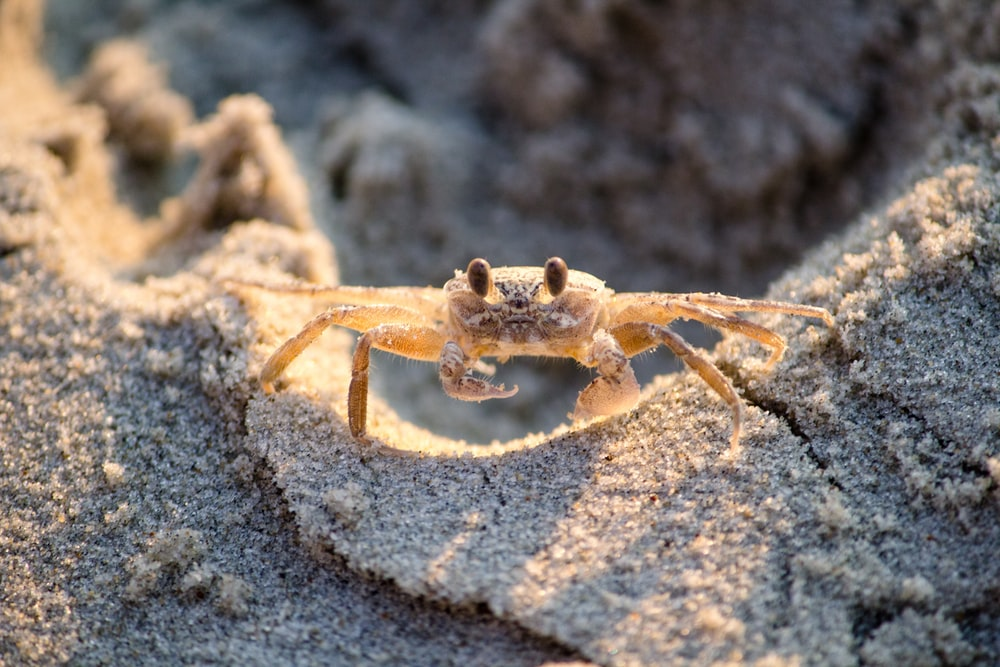 brown crablet on sand