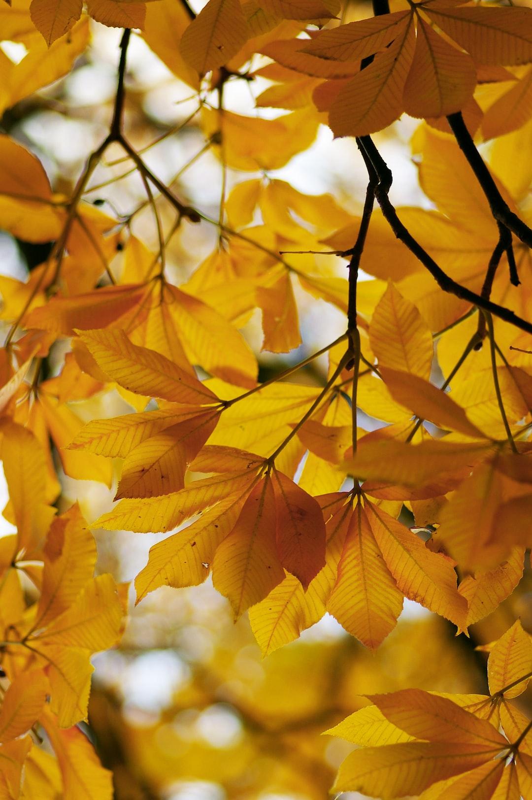 Golden chestnut leaves