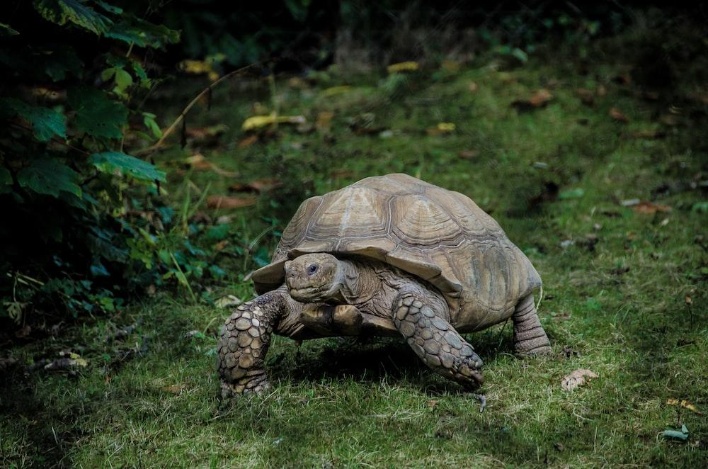 gray tortoise walking on green grass field