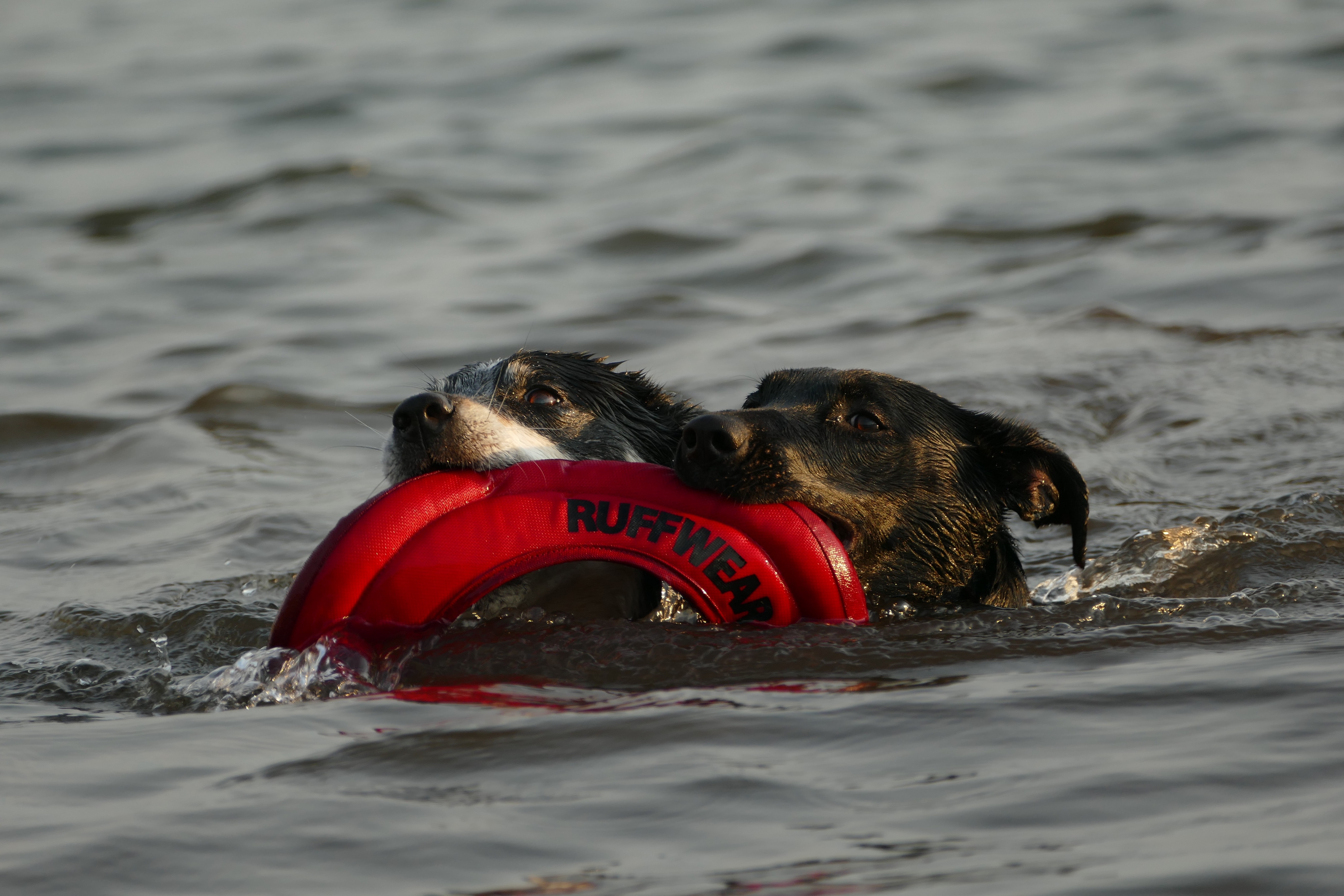 two black dogs swimming on body of water while biting life vest