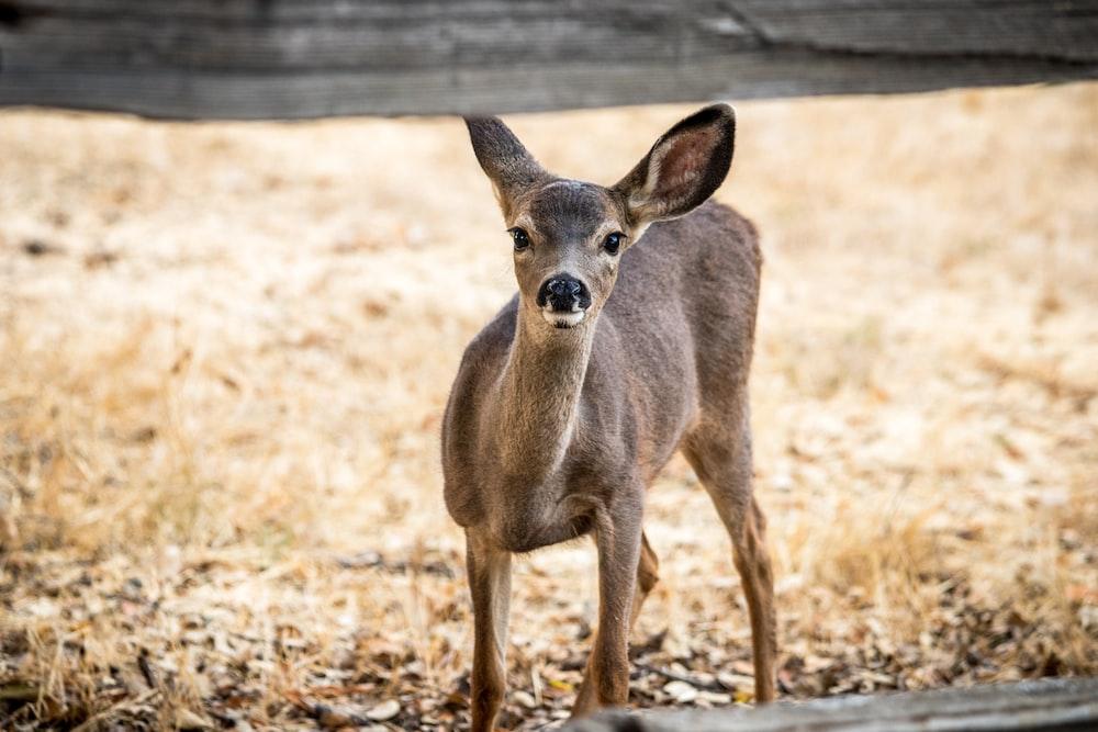 gray deer standing on field