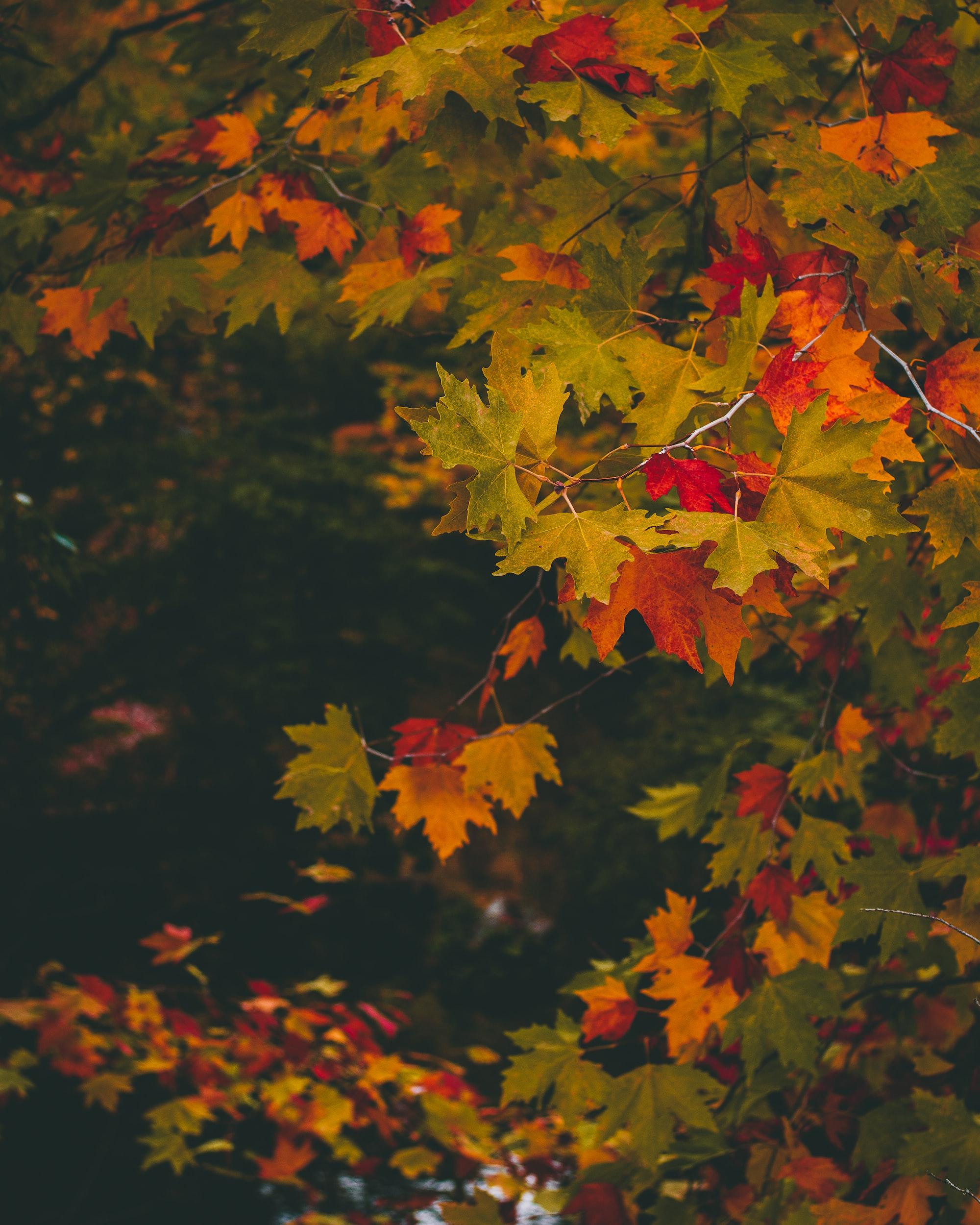 Mindre klorofyll gör löven gula och röda