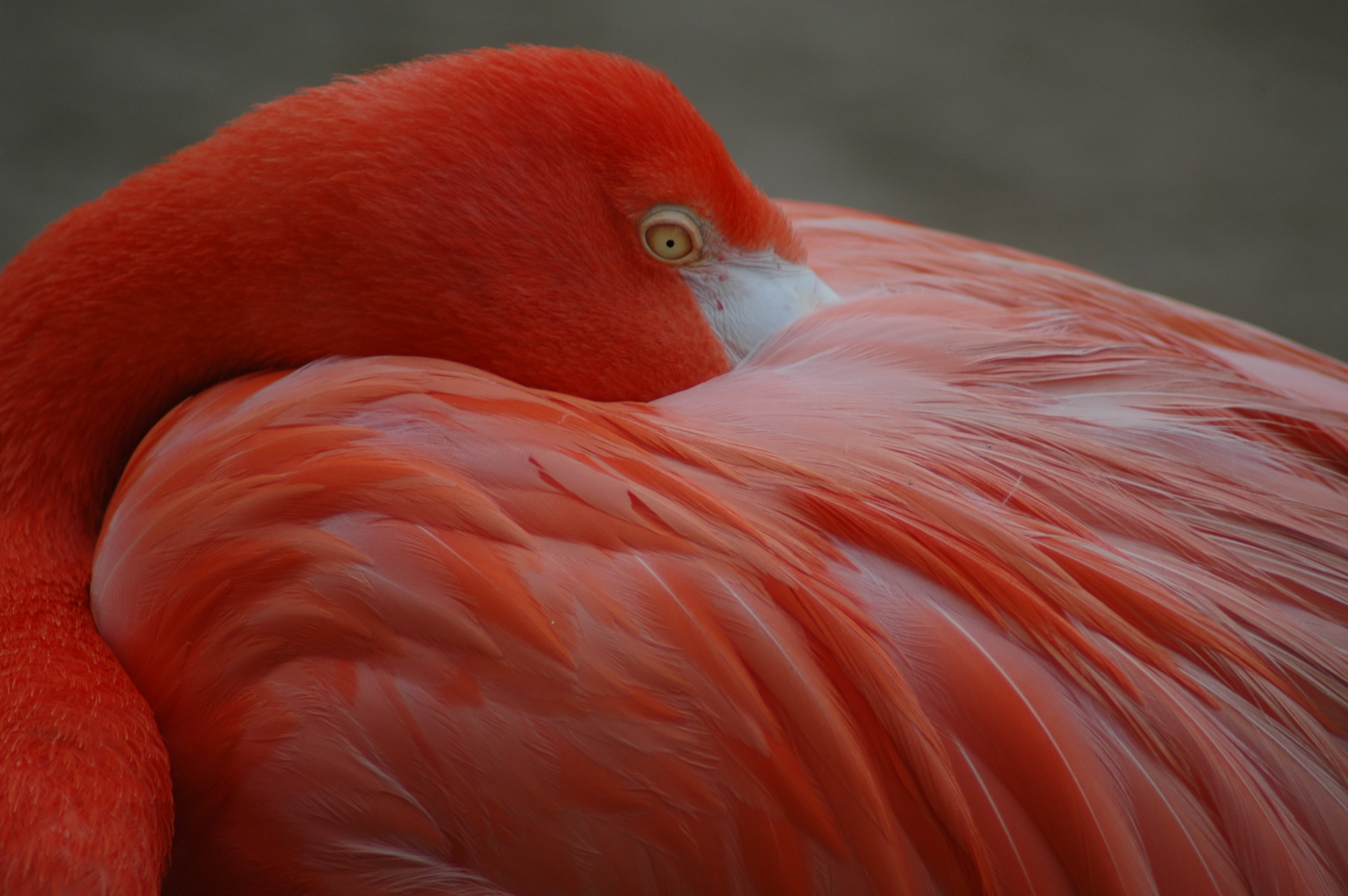orange flamingo