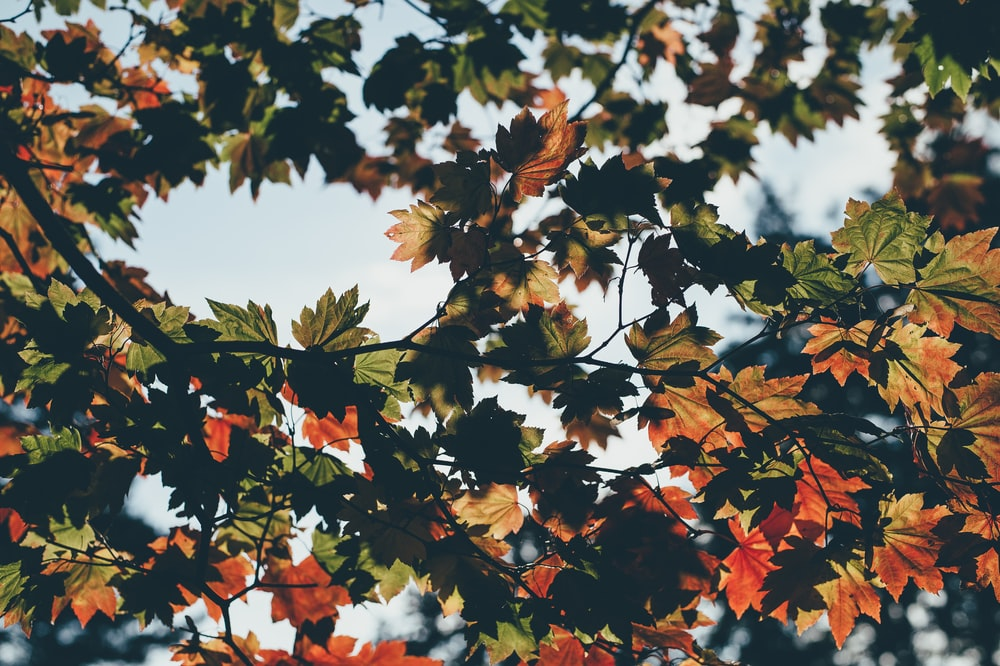 maple tree at daytime
