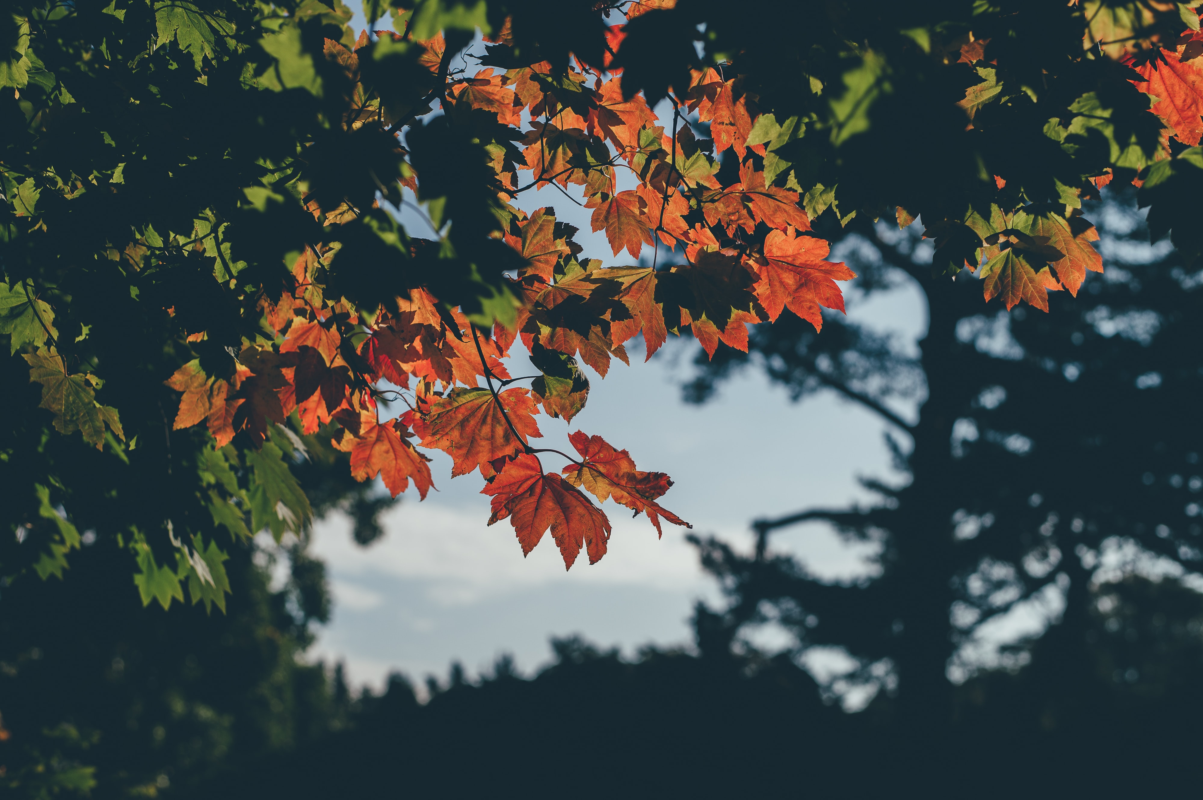shallow focus photo of maple trees