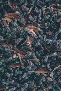 Frosty Heather and Leaves