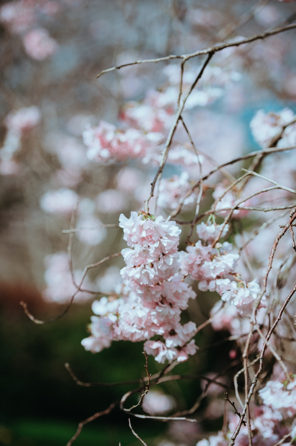 Blooming Tree Pictures Download Free Images On Unsplash