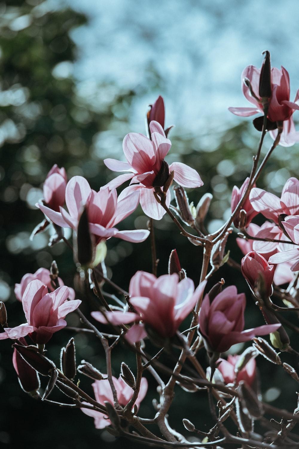 closeup photogragy of pink petaled flowers