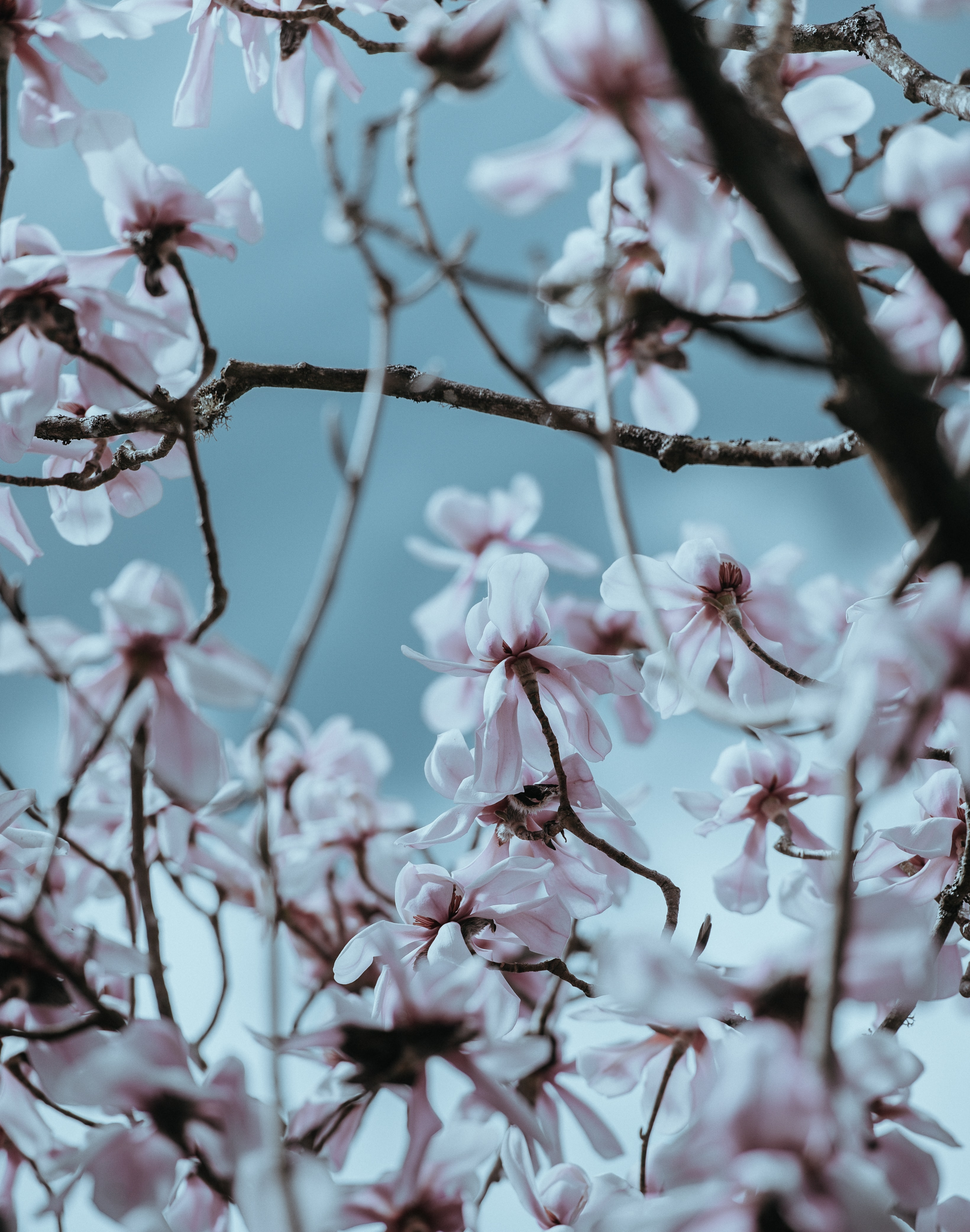 selective focus of white cherry blossom