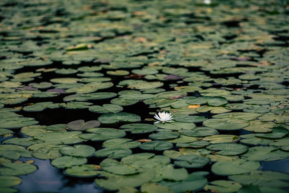 white water lily flower in bloom at daytime
