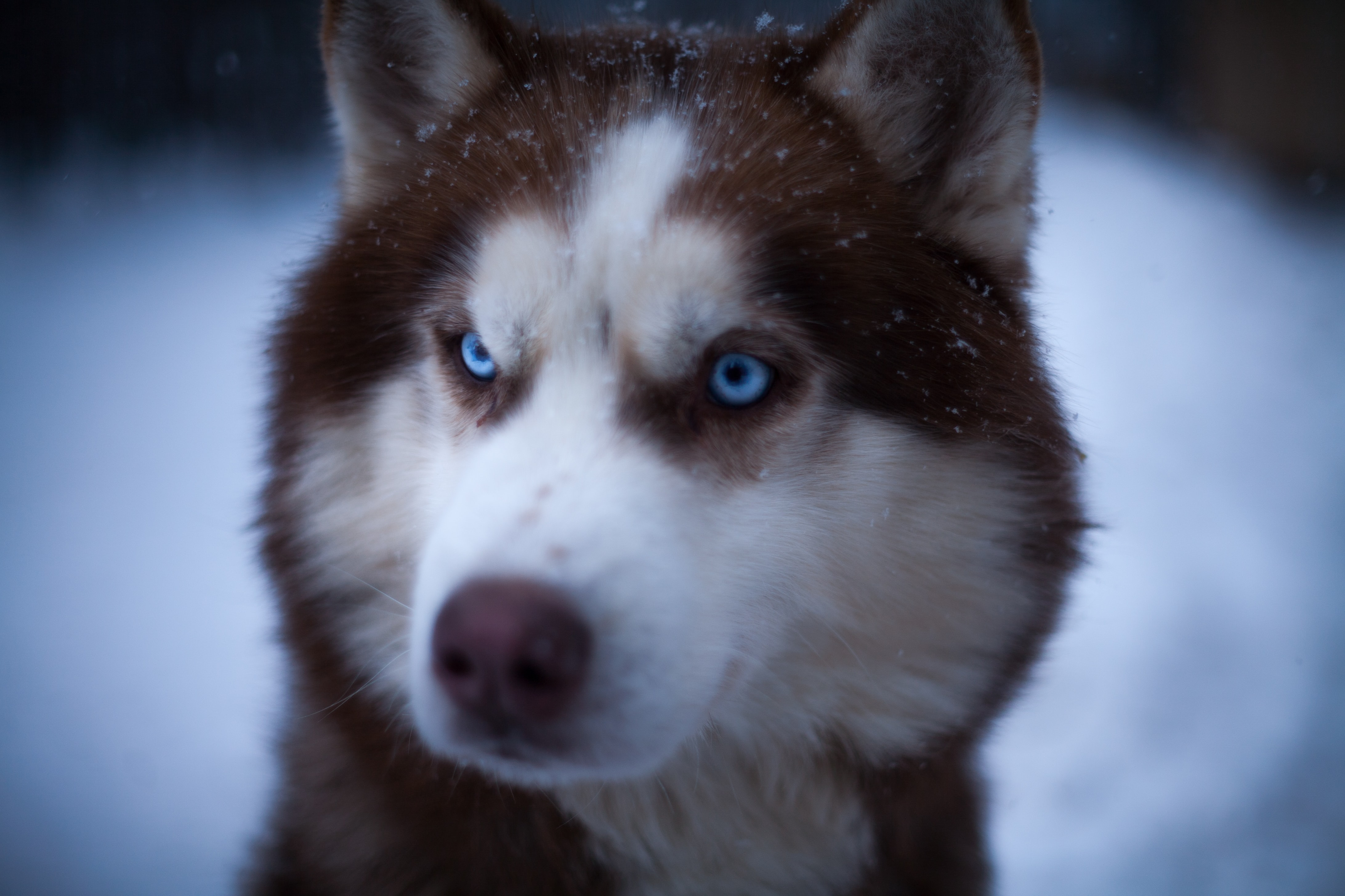 close-up photography of white and brown Siberian husky