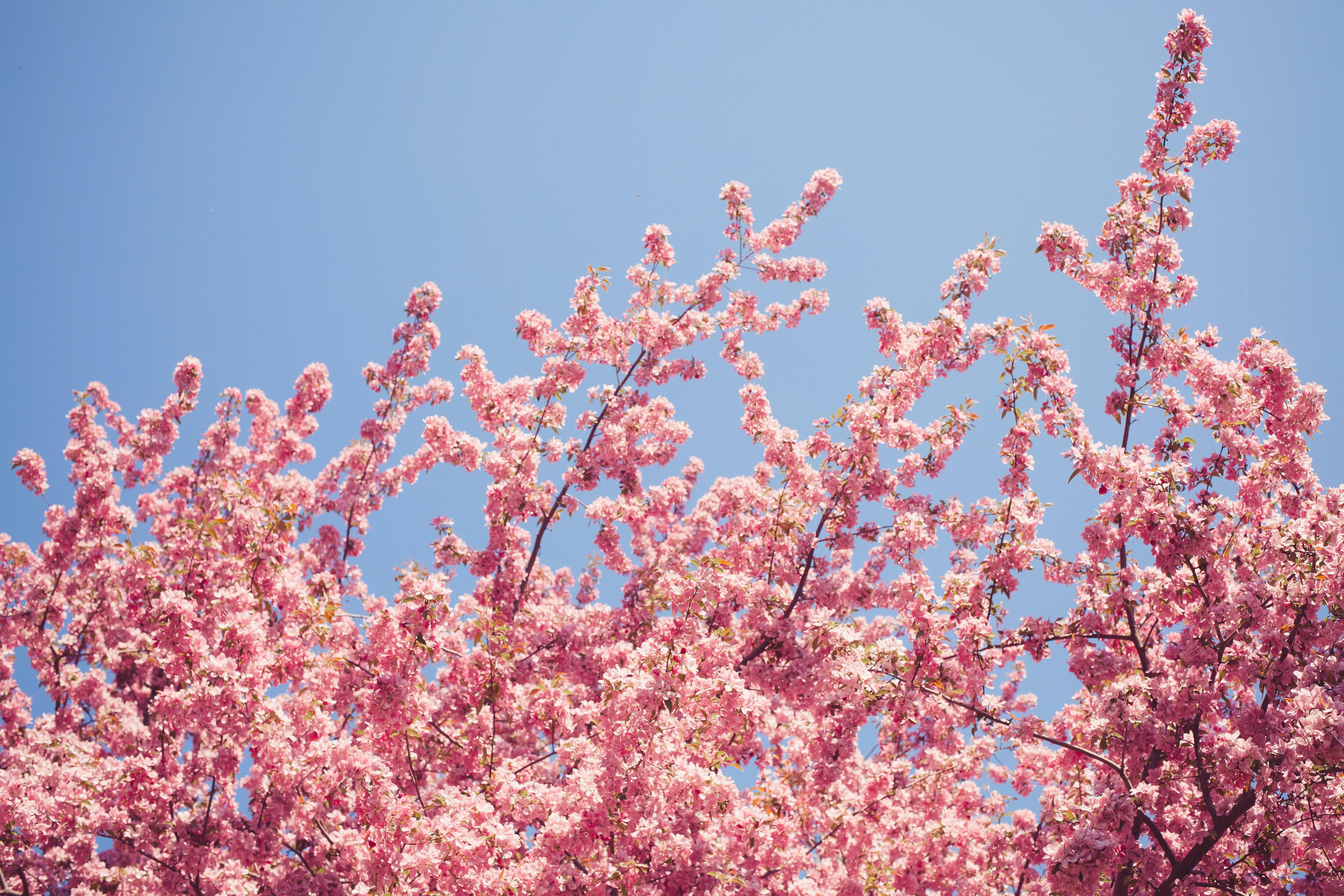 cherry blossom at daytime