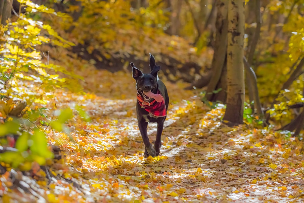 dog running on writhed leaves surrounded by trees