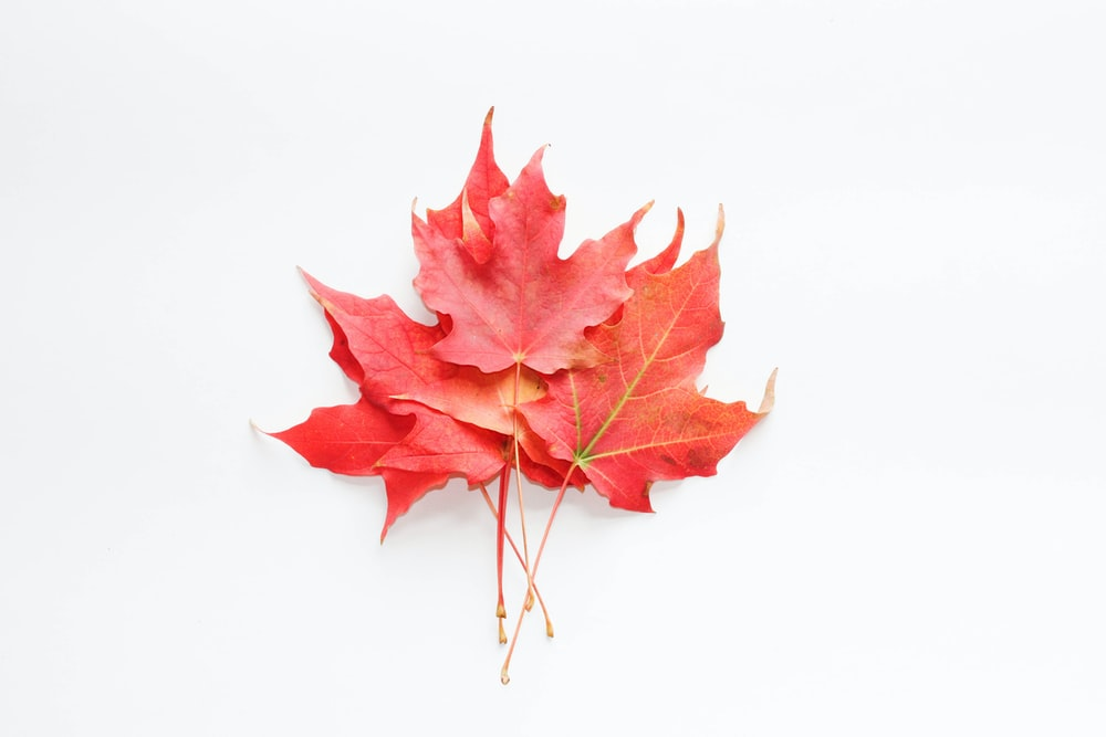 red maple leaf on white surface